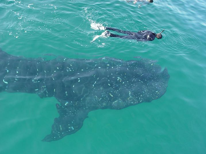 swim with whale sharks 2